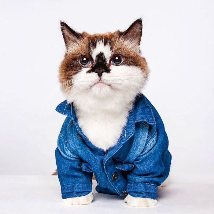 gato camisa azul de mezclilla