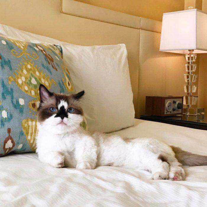 gato acostado y posando