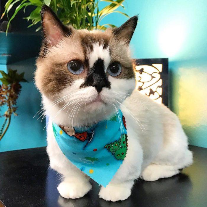 gato con paliacate azul en el cuello