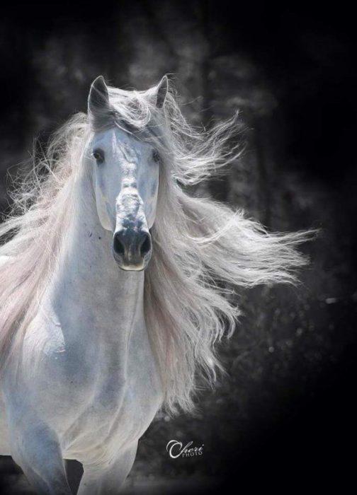 caballo gitano blanco