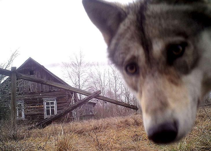 lobo mira hacia una cámara