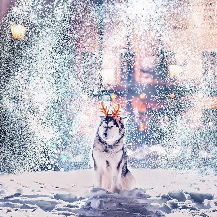 Husky guiñando un ojo en la nieve