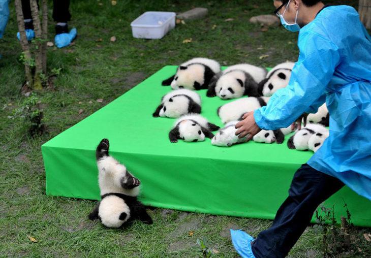 cachorro de panda cae de tarima
