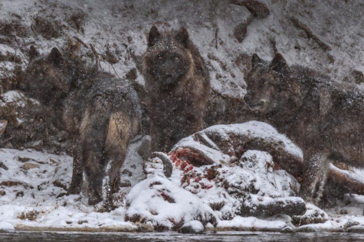 restos de bisonte y lobos