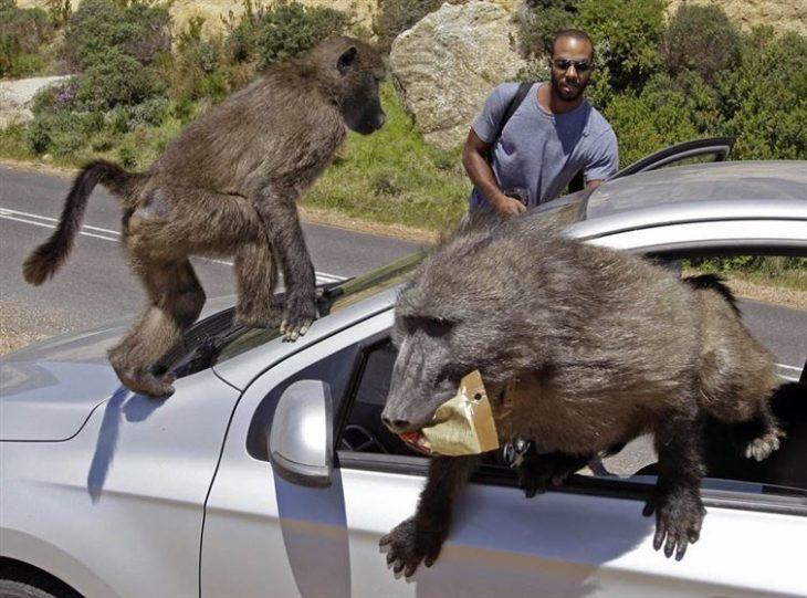 babuinos robando un auto