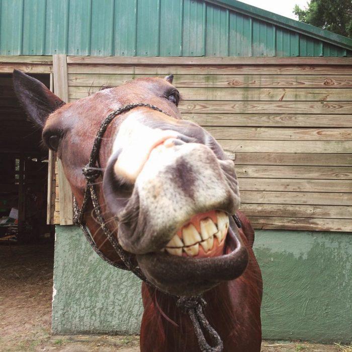 caballo sonriendo