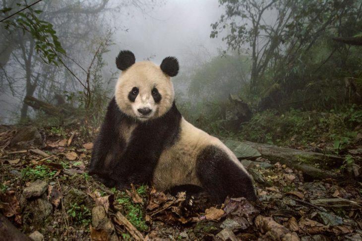 panda gigante en bosque