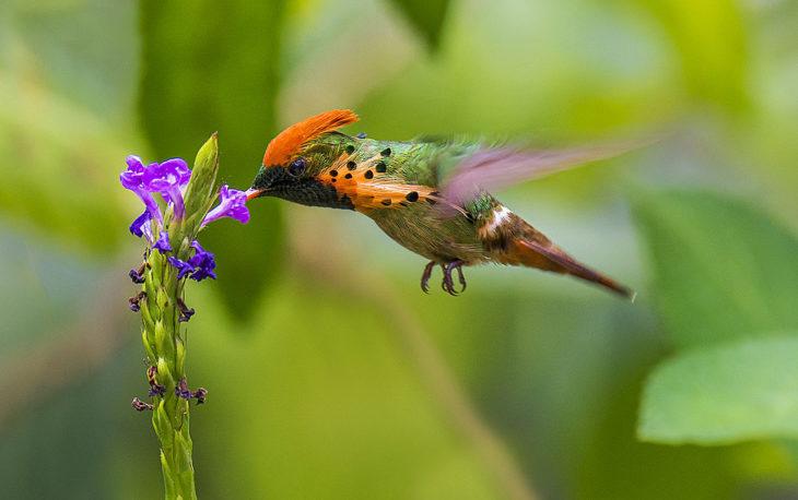 colibrí macho picando una flor