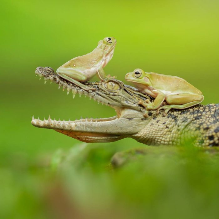 dos ranas sobre lagartos