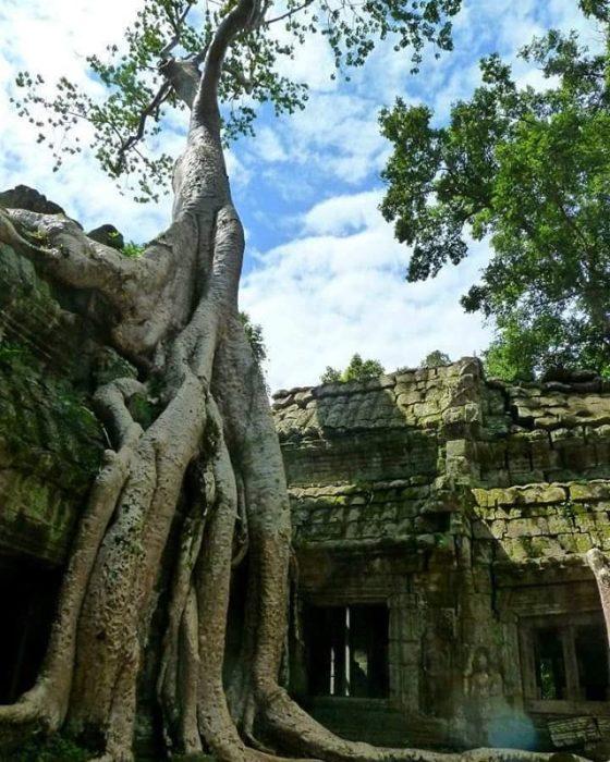 Angkor Cambodia, árvore