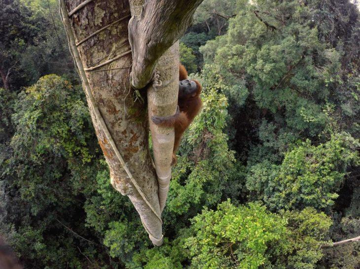 orangután trepando un árbol