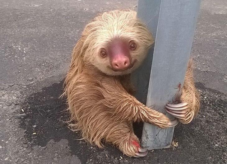 perezoso abraza poste