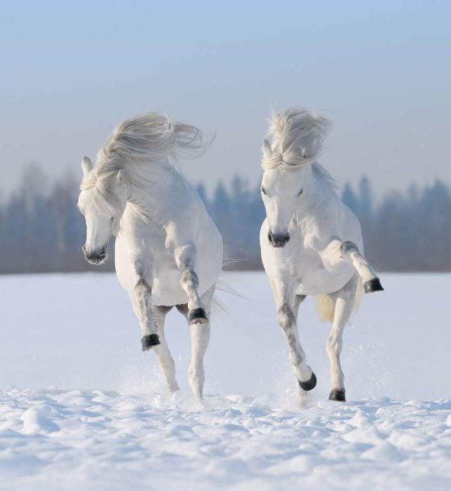 poni galés gris en paisaje de nieve