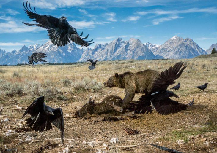 oso protege a su presa de los cuervos