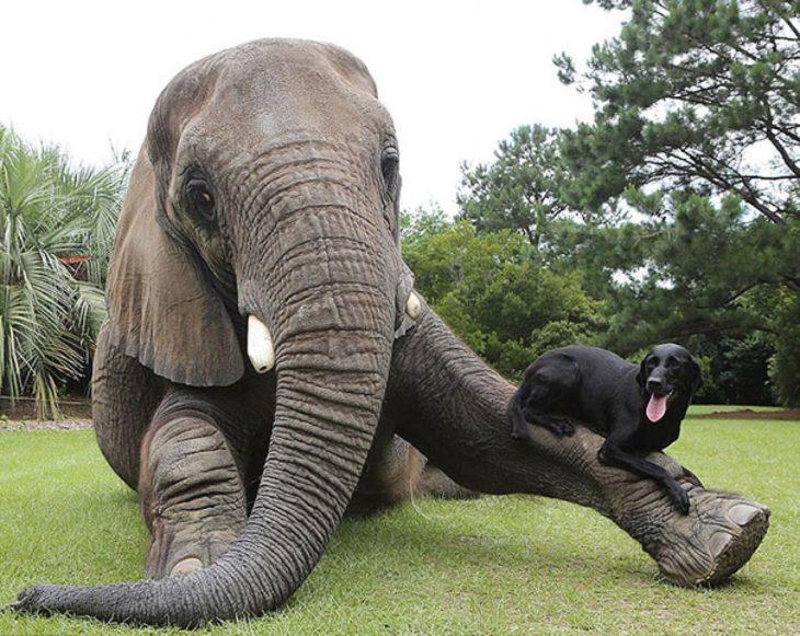Elefanta acostada y perro labrador en sus pies