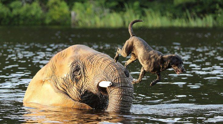 Perro salta desde un elefante para echarse al agua
