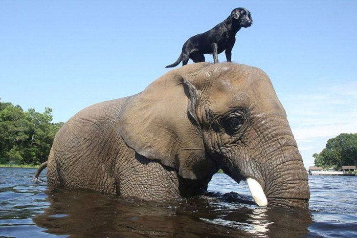 Perro en la cabeza de elefante