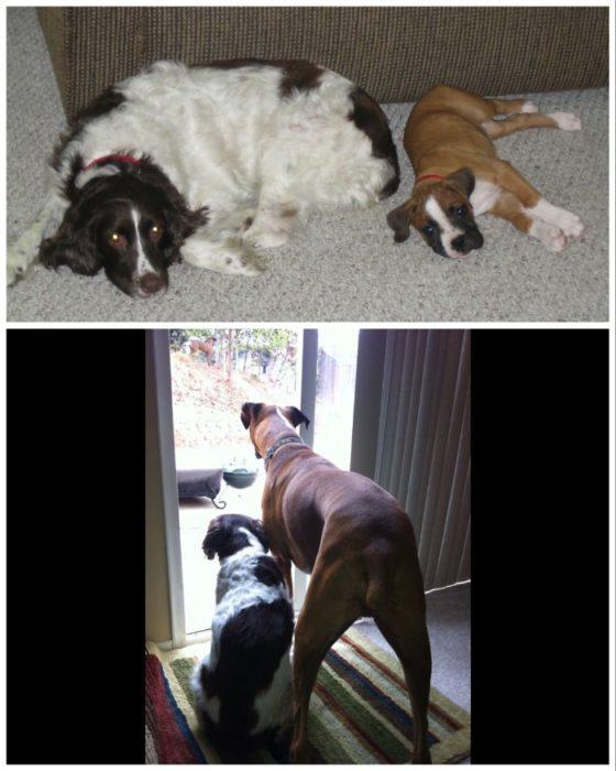 perros con el paso de los años