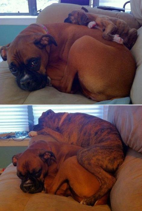 perros acurrucados juntos
