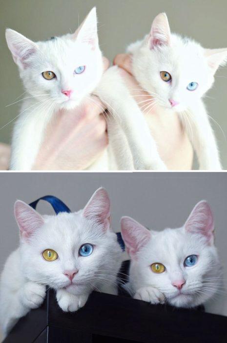 gatos blancos con ojos de distintos colores