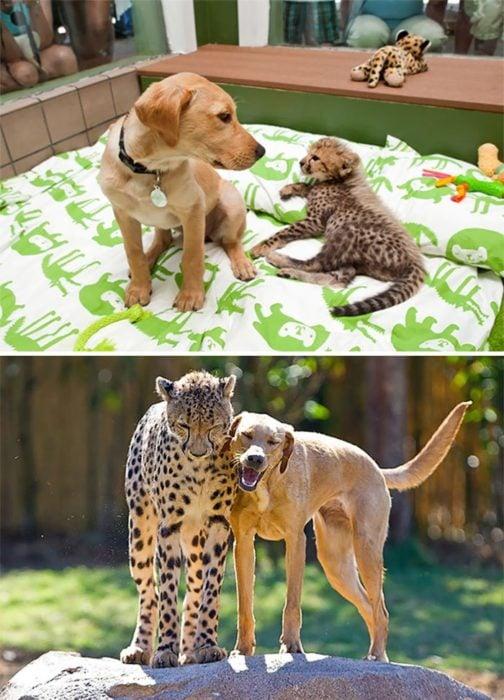 perro y guepardo