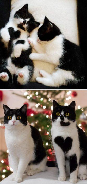 dotos de dos gatos como han crecido