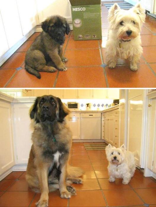 dos perritos crecen