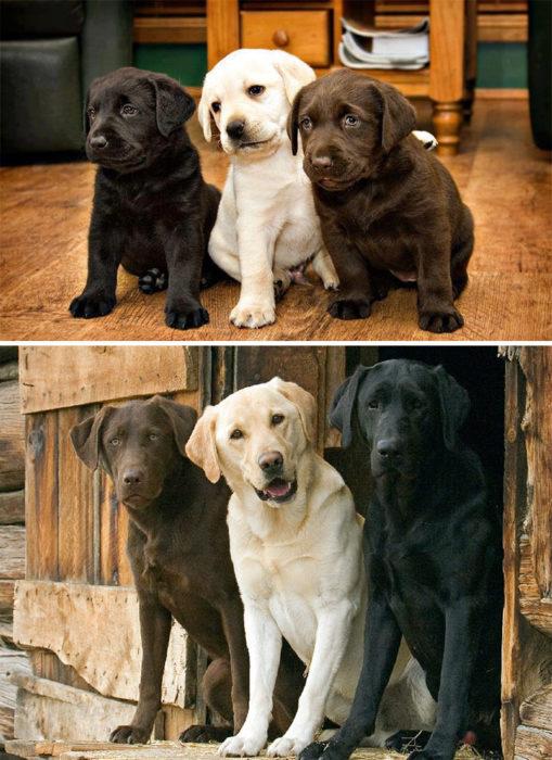 tres perros labrador crecen juntos