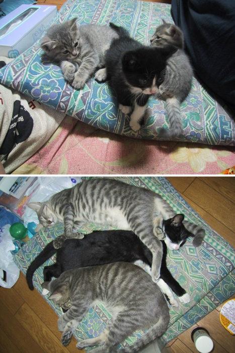 tres gatitos crecen juntos
