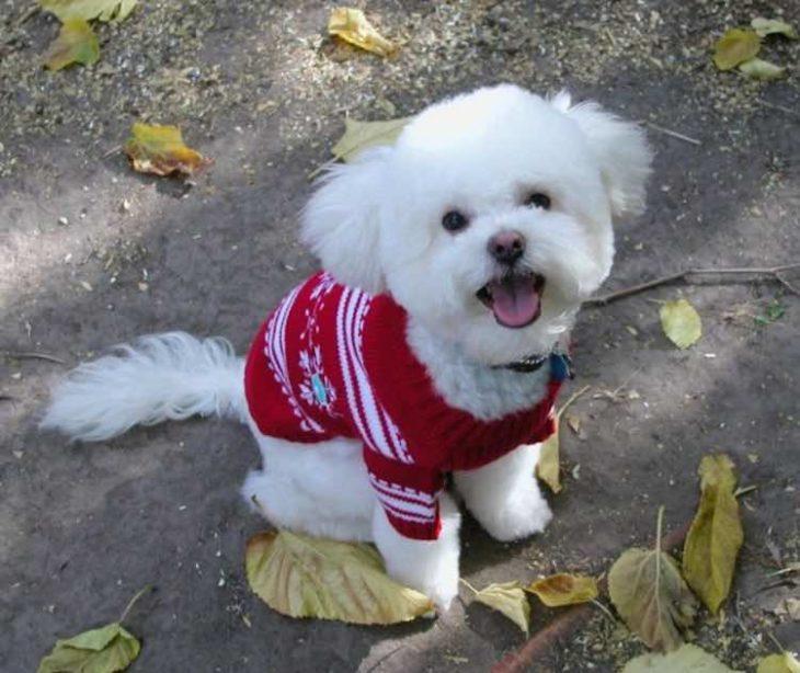 Perrito blanco con sueter de navidad rojo