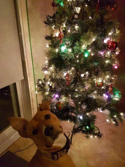 perro posa para la foto frente al arbol de navidad