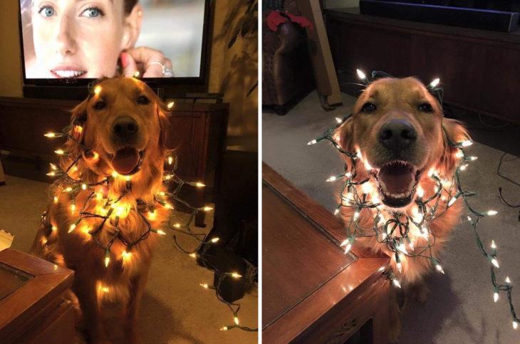 Golden feliz enredado en las luces de Navidad