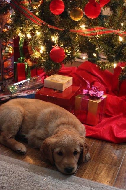 cachorrito acostado al lado dde los regalos de navidad