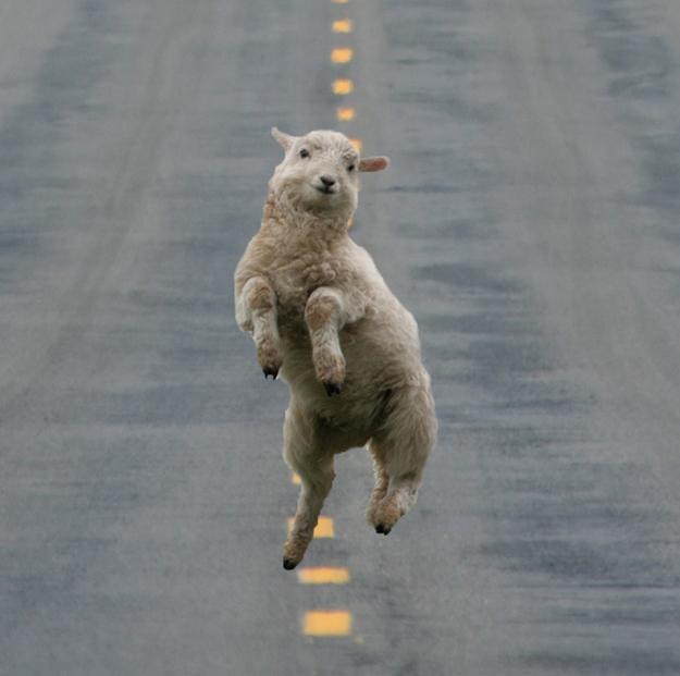 Oveja saltando