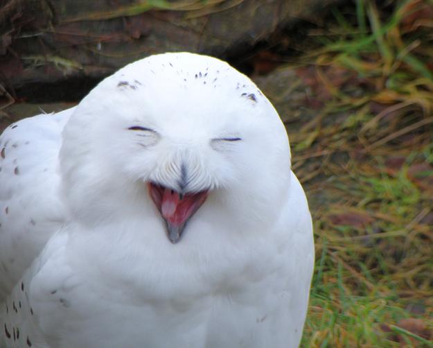 Lechuza blanca riéndose