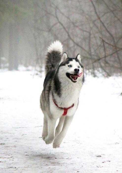 Husky feliz