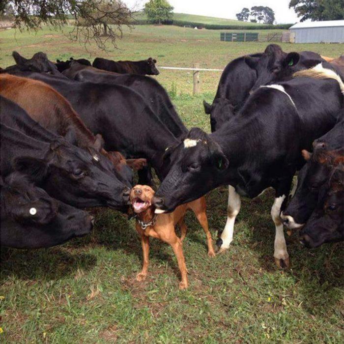 Perro entre vacas