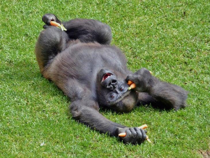 Orangután feliz