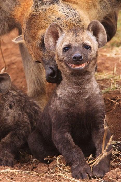 Hiena sonriendo