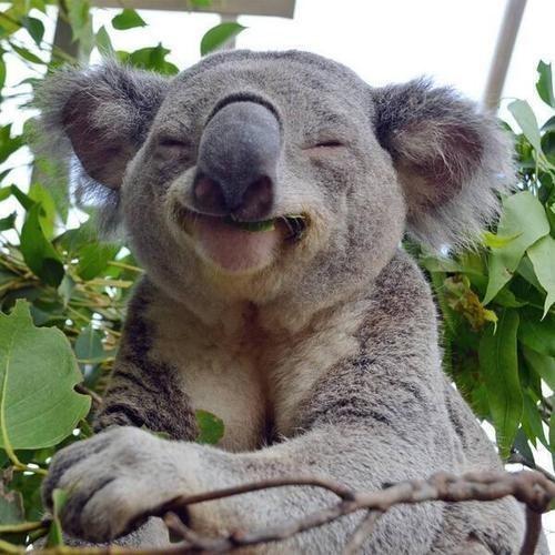 Koala sonriendo