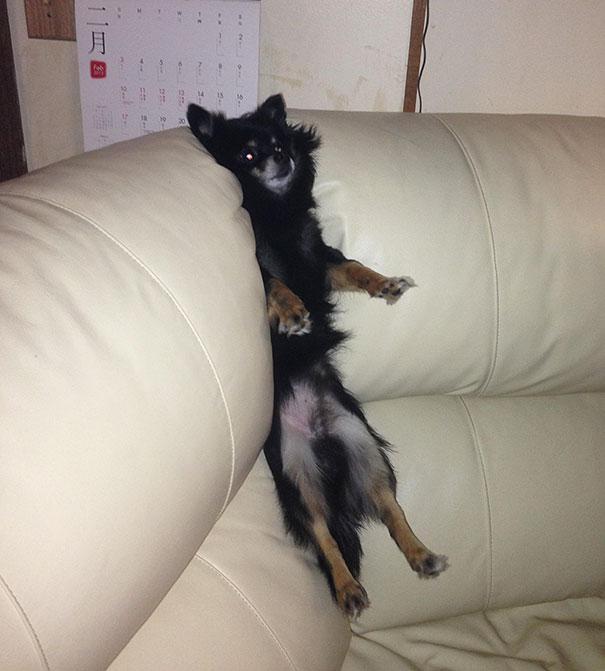 Perro atorado en el sillón