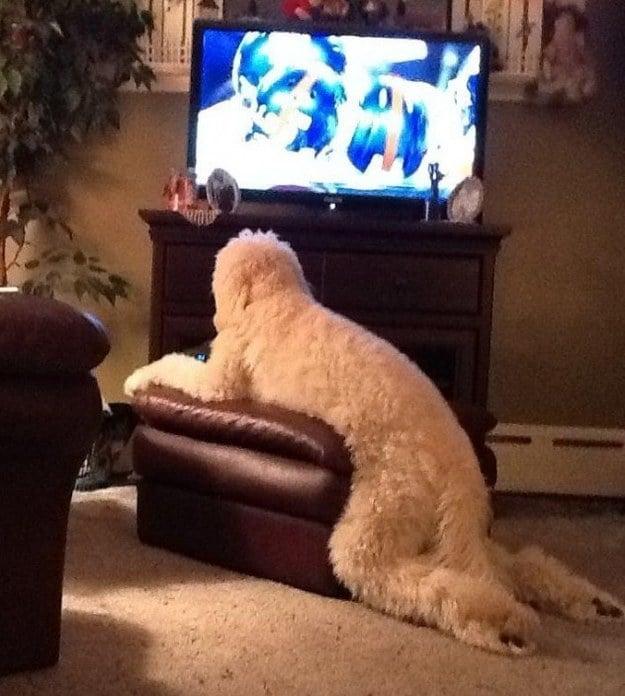 Perro viendo tele
