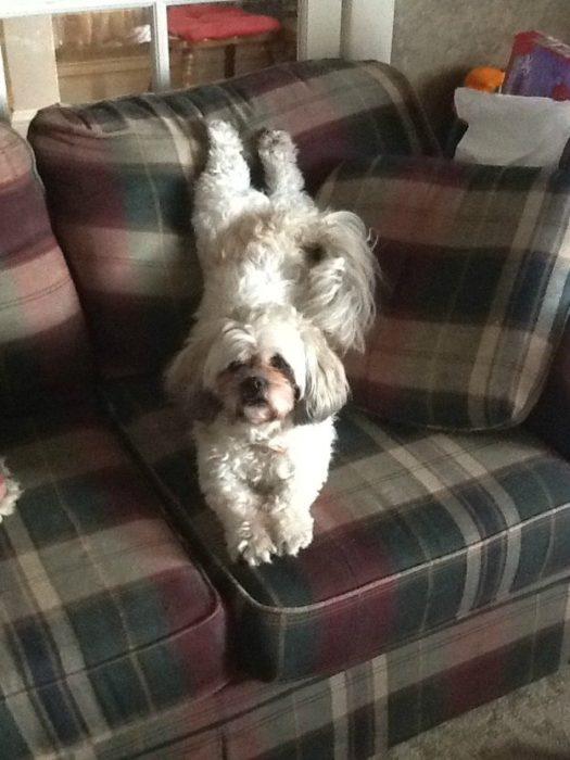 Perro acostado en el sillón