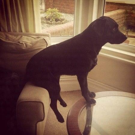Perro sentado en un sillón y apoyado en unamesa