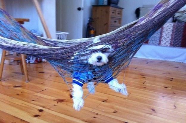 Perro atorado en una hamaca