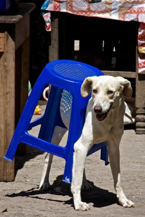 Perro atorado en banco de plástico