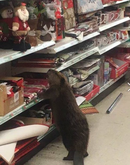 castor en tienda departamental