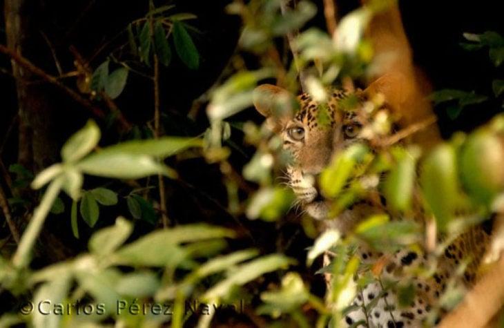 Un leopardo entre las hojas