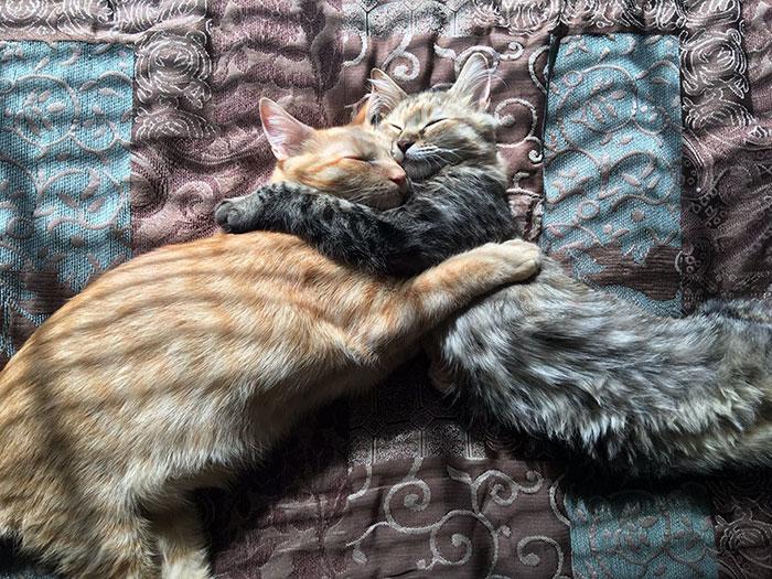 Gatos inseparables se duermen abrazados