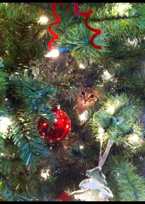 Se ve la carita de un gato escondido en el árbol navideño